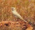 Pale rockfinch (ഇളം പാറക്കുരുവി ) - 16.jpg
