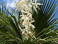 Palm Tree Flowers (18017629254).jpg