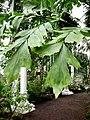 Palm house (Schönbrunn) Caryota mitis foliage 20080212.jpg