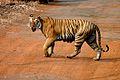 Panthera tigris tigris Tadoba India wild tiger.jpg