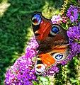 Paon-du-jour (Aglais io) sur fleurs violettes.jpg