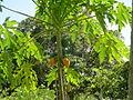 Papaya (2851333112).jpg