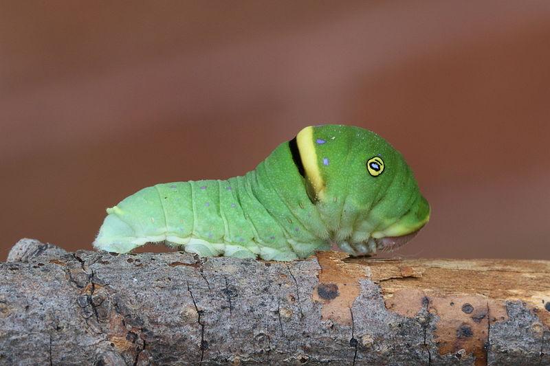 File:Papilio canadensis caterpillar 1.JPG