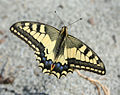 Papilio machaon from Greece.jpg