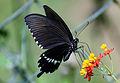Papilio polytes polytes bytreef.jpg