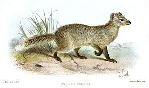 Selous' mongoose - Image: Paracynictis selousi Smit