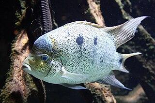 <i>Maskaheros</i> genus of Actinopterygii