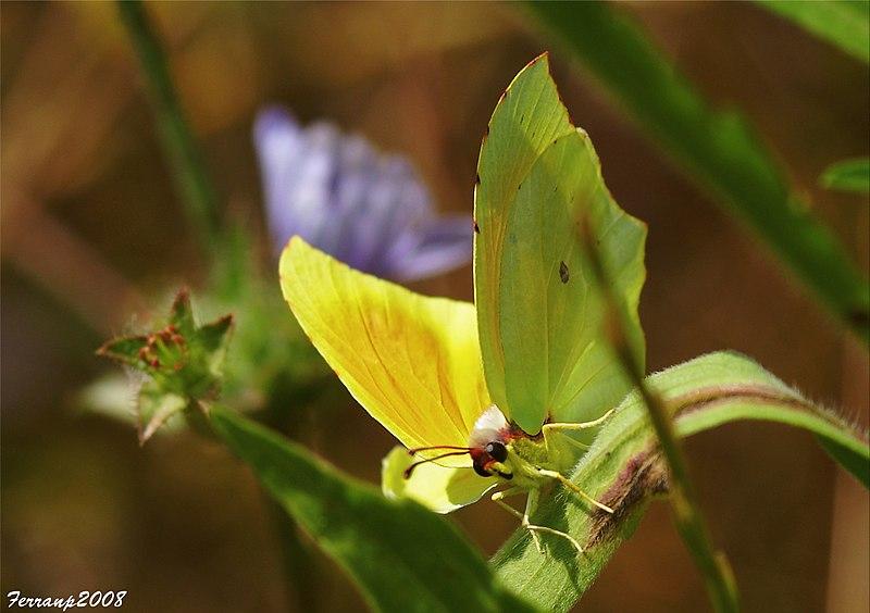File:Parc Natural del Garraf 08 - Mimetisme- Papallona, Gonepteryx cleopatra (2565366023).jpg