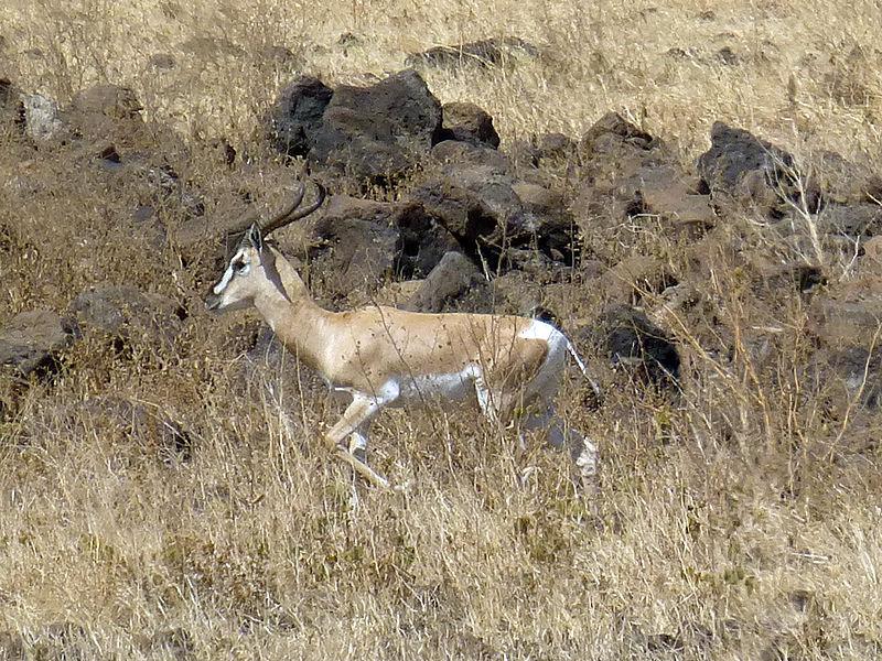 File:Parc national de Yangudi Rassa-Gazelle de Soemmerring (1).jpg
