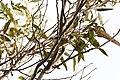 Pardalotus punctatus (31820792124).jpg
