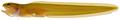Parophidion schmidti - pone.0010676.g025.png