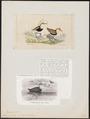 Parra cristata - 1700-1880 - Print - Iconographia Zoologica - Special Collections University of Amsterdam - UBA01 IZ17500289.tif