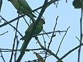 Parrots in evening.JPG
