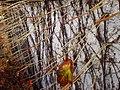 Parthenocissus tricuspidata IMG 5031.jpg