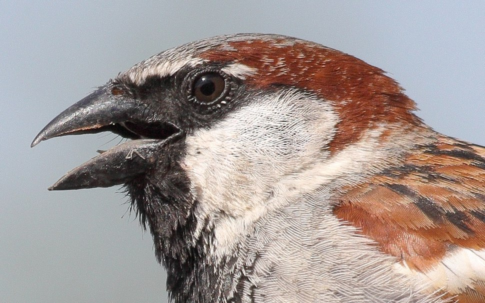Passer domesticus male head (Germany)