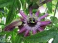 Passiflora × violacea (4).jpg