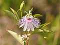 Passiflora incarnata (habitus).jpg