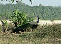 Peacock-from-Thannerbavi-Mangalore-1.jpg