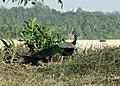 Peacock-from-Thannerbavi-Mangalore-1.jpg