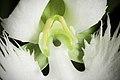 Pecteilis radiata fma. variegata '金星 - Kinboshi' (Thunb.) Raf., Fl. Tellur. 2 38 (1837) (50296155292).jpg