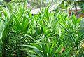 Pembibitan kelapa sawit (23).JPG