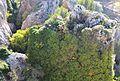 Penyal cobert de vegetació, el Castell de Guadalest.JPG