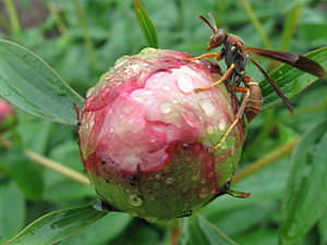 English: Ants, as well as wasps, are attracted...
