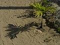 Pequeña palma y su sombra.jpg