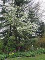 Perenboom bloei.jpg