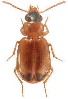 <i>Perigona</i> genus of insects