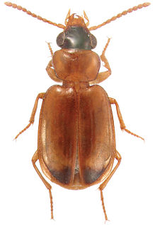 <i>Perigona</i> Genus of beetles