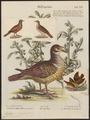 Peristera montana - 1700-1880 - Print - Iconographia Zoologica - Special Collections University of Amsterdam - UBA01 IZ15600219.tif