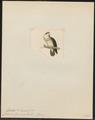 Peristera tympanistria - 1820-1860 - Print - Iconographia Zoologica - Special Collections University of Amsterdam - UBA01 IZ15600243.tif