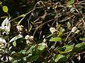 Persicaria chinensis var. ovalifolia (6368783473).jpg