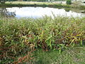 Persicaria lapathifolia plant5 NWP (16986820057).jpg