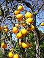 Persimmon,kakinoki,katori-city,japan.JPG