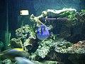 Pesce chirurgo blu.jpg