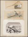 Phaëton rubricaudus - 1700-1880 - Print - Iconographia Zoologica - Special Collections University of Amsterdam - UBA01 IZ18000017.tif