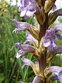Phelipanche purpurea sl9.jpg