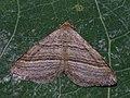 Phibalapteryx virgata - Oblique striped - Пяденица подмаренниковая (39147948540).jpg
