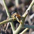 Philanthus triangulum, European Bee-wolf - Flickr - gailhampshire.jpg