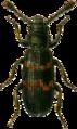 Phloeostichus denticollis Jacobson.png