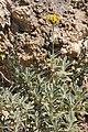 Phlomis cytherea fleurs-Clapiers-7660~2020 04 11.jpg