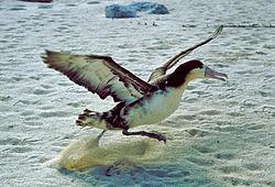 A decolagem é uma das poucas fases em que os albatrozes necessitam de bater as asas para voar, sendo igualmente a fase mais exigente em termos energéticos de qualquer excursão efectuada por estas aves.