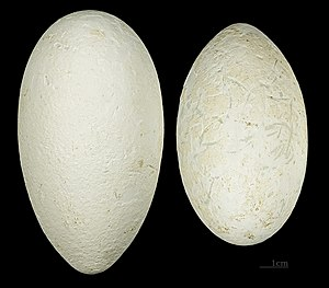 Lesser flamingo - Eggs MHNT