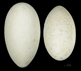 Lesser flamingo - Eggs MHNT