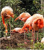 Phoenicopterus ruber.jpg