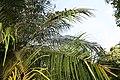 Phoenix roebelenii 31zz.jpg