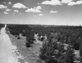 Photograph of Plantation Number 26 in Washburn Ranger District - NARA - 2129288.tif