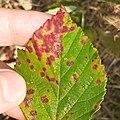 Phragmidium violaceum 89105857.jpg